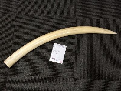象牙 アフリカ象 90センチ 4キロ 骨董品買取